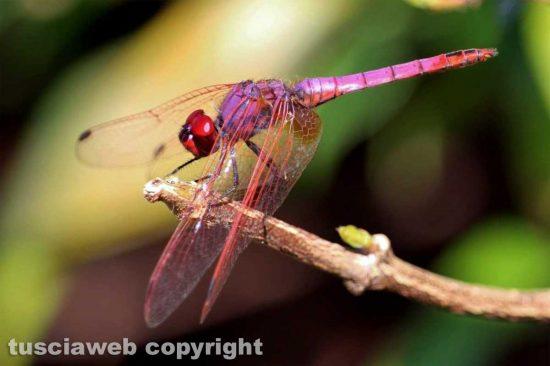 Capodimonte - Una libellula - Foto di Alina Briciu