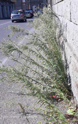 Viterbo - Erbacce a via Santa Maria in Gradi