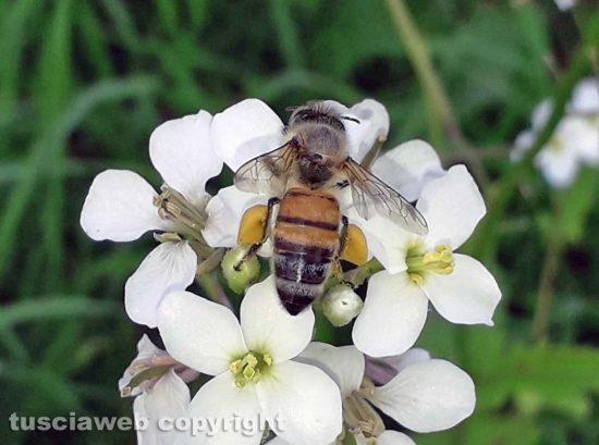Un' ape bottinatrice di polline su diplotaxis