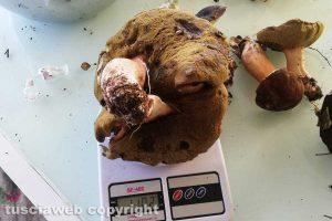 Nepi - Il porcino da 1 chilo e 102 grammi