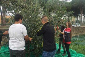 Tarquinia - Gli studenti di agraria raccolgono le olive del Cardarelli