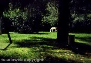 Cavallo riportato al parco Bicchi di Grotte Santo Stefano