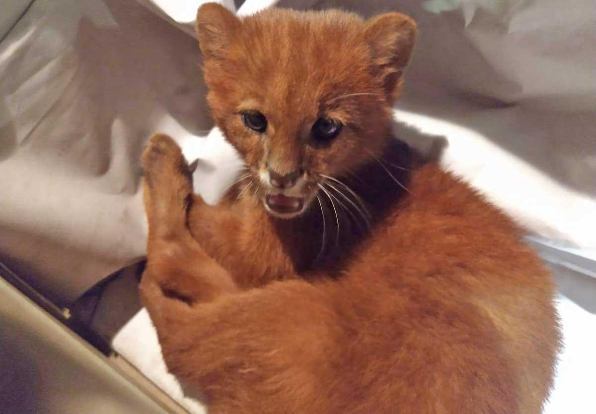 Ragazza adotta un gattino, ma scopre che è un puma
