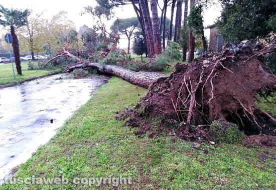 Capranica - Il pino caduto