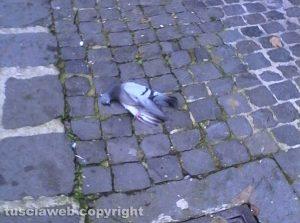 Montefiascone - Un piccione morto in via Bixio