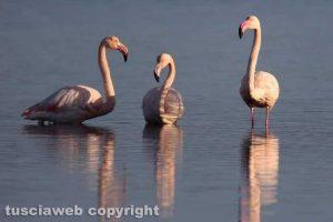 Orbetello - Fenicotteri rosa alla laguna