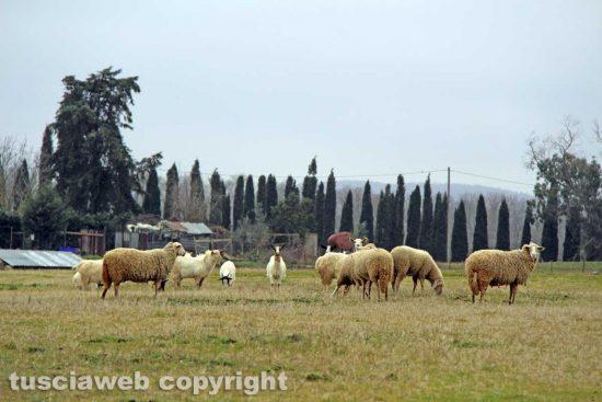 Cinelli - Vetralla - Pecore e capre al pascolo sopra la discarica