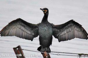 Bolsena - Un cormorano