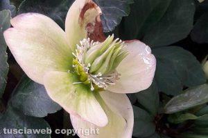 Un Helleborus niger