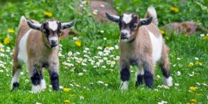 Due capretti