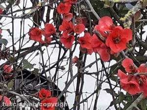 Chaemomeles japonica
