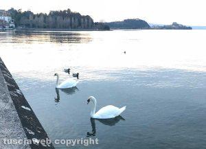 Marta - Cigni al lago di Bolsena