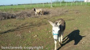 Viterbo - Un cavallo e un asino sulla Tuscanese