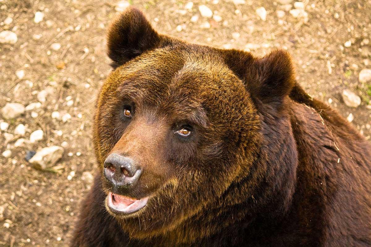 Padre e figlio di Cles aggrediti da un orso sul Monte Peller