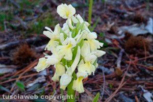 Viterbo - Orchidee selvatiche