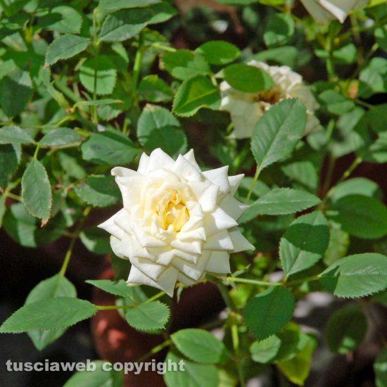 Viterbo - La Rosa bianca