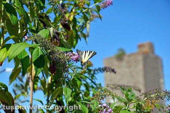 Viterbo - La buddleia o albero della farfalla