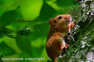 Farnese - Un piccolo moscardino