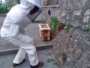 Montefiascone - Lo sciame di api nella stradina tra via Indipendenza e il piazzale della cripta di Santa Lucia - L'intervento dell'apicoltore