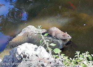 Viterbo - Topi nel laghetto di pratogiardino Lucio Battisti
