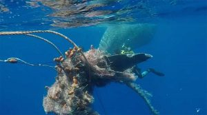 Filicudi - Capodoglio intrappolato con la coda in una rete da pesca illegale