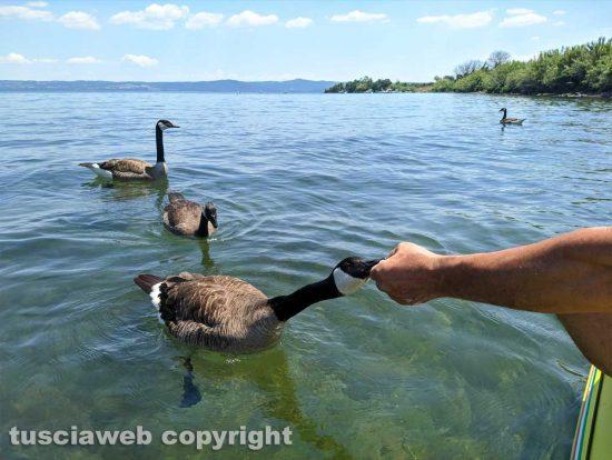 Oche canadesi nel lago di Bolsena