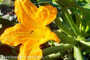 Fiore di zucchina con ape
