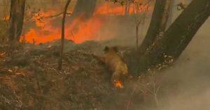 Un koala tra le fiamme