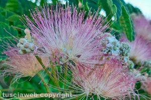 Fiore di albizia