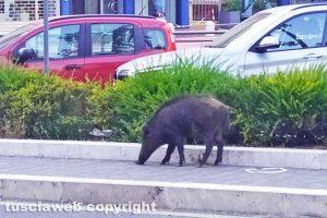 Viterbo - Un cinghiale in via Genova