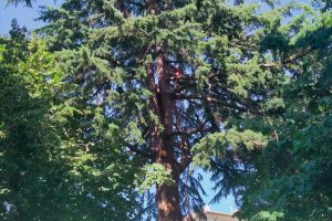 Vetralla - Il cedro in via Roma