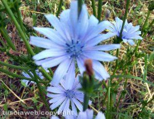 Soriano nel Cimino - Cicoria in fiore - Foto di Giuseppe Nicita