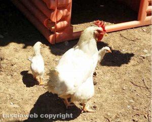Una gallina con i pulcini