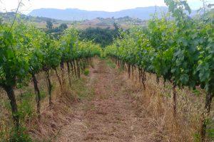 Un vitigno del Lazio