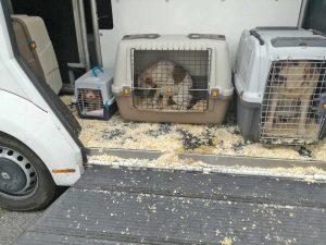 Fabro - Polizia stradale - Gli animali trasportati nelle gabbie