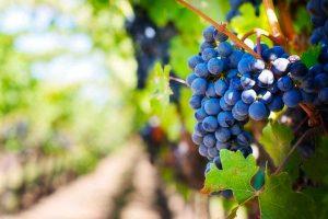Un vitigno