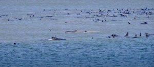 Disastro ambientale in Australia, centinaia di balene spiaggiate