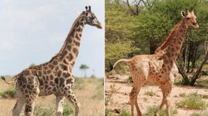 Gimli e Nigel - Le due giraffe affette da nanismo