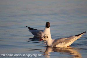 Gabbiani e svassi maggiori sul lago di Bolsena