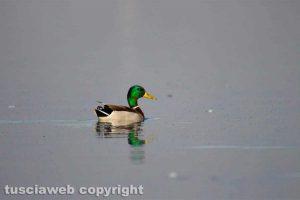 Un germano reale maschio nel lago di Bolsena