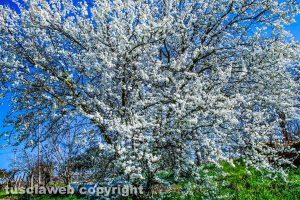 Albicocco in fiore