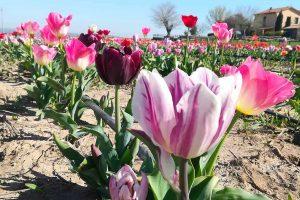 Tuscia Flower: apre al pubblico il campo con 300mila tulipani