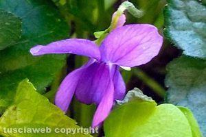 Fiore di violetta