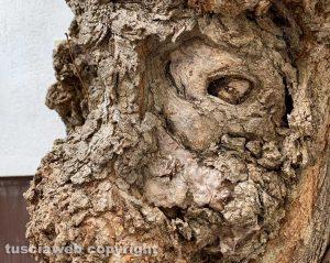 """Viterbo - Scultura """"naturale"""" nel tronco di un albero"""