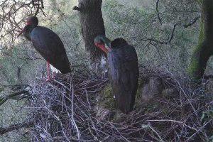 Barbarano Romano - Il nido di cicogna nera alparco Marturanum